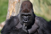 Silverback Gorilla Joins London Zoo