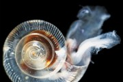 Marine Snails Have Dissolving Shells
